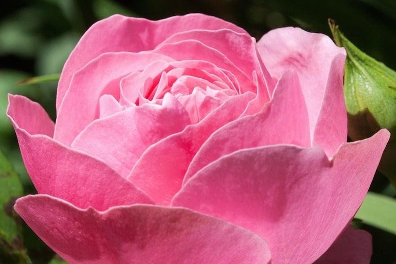 Rose bedeutung islam rote Rote Rosen